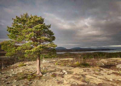 pine-landscape-sor-lenangen