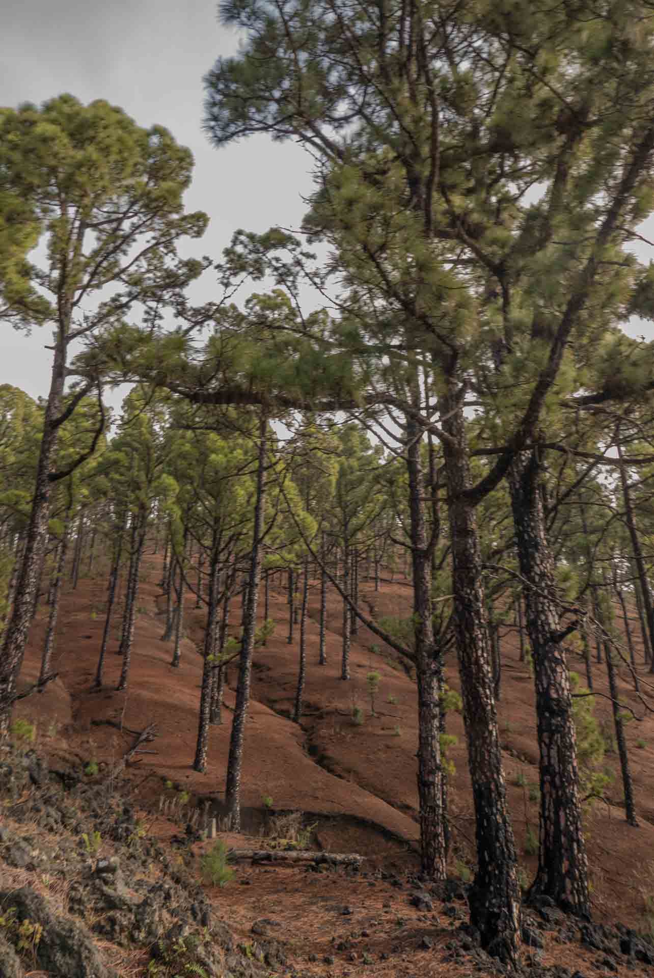la-palma-pines-hiking